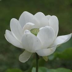 華台寺白蓮